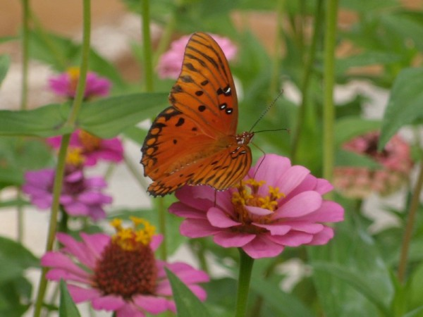 A new butterfly has come to visit the garden.