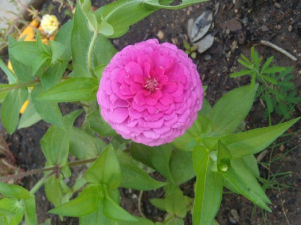 from our flower garden--zinnias
