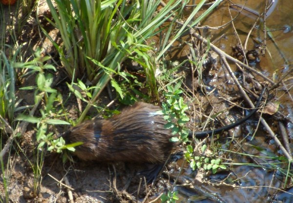 muskrat...we watched him cut down a blade of grass and carry it to his den