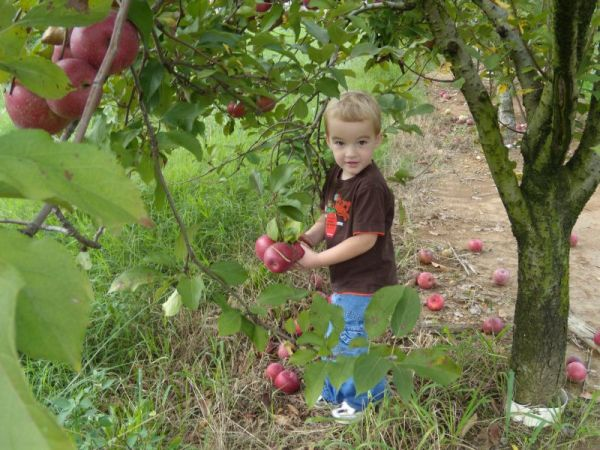 Michael picking apples - the first ones